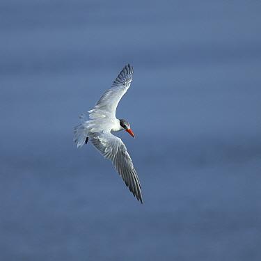Caspian tern (Hydroprogne caspia) in flight looking for food, Oman, August