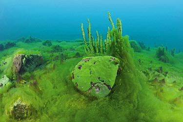 Thallus of filamentous algae (Spirogyra and Ulothrix) , Lake Baikal, Siberia, Russia.