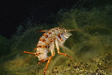 Freshwater isopod (Acanthogammarus lappaceus) on a mat of filamentous algae (Spirogyra and Ulothrix) Lake Baikal, Siberia, Russia. October.