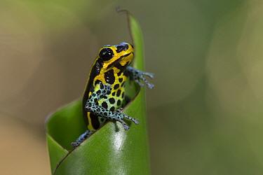 Poisonous dart frog (Ranitomeya imitator) Amazon, Peru