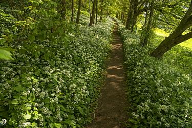 Footpath through Wild garlic / Ramsons  (Allium ursinum) flowering in Beech woodland, Petersfield, Hampshire, England, UK. May 2015.