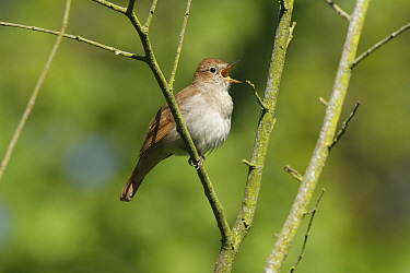 Nightingale (Luscinia megarhynchos) singing in tree near Pulborough, West Sussex, England, UK. May.