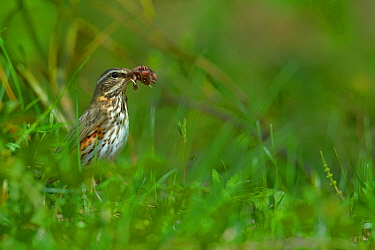 Redwing (Turdus iliacus) with earthworm, Finland, April.