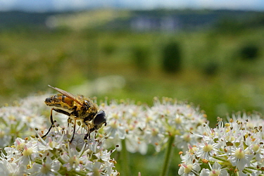 Drone fly (Eristalis sp.) nectaring on Common hogweed (Heracleum sphondylium) on hillside once used as a dumping ground, cleared of scrub to improve habitat for bees and other pollinators for Buglife'...