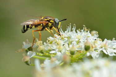 Wasp-mimicking Hoverfly (Chrysotoxum festivum) nectaring on Common hogweed (Heracleum sphondylium) on hillside once used as a dumping ground, cleared of scrub to improve habitat for bees and other pol...