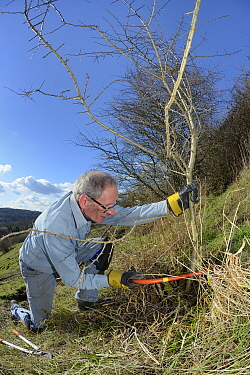 Volunteer improving habitat for bees and other pollinators by using a saw to clear scrub from grassland hillside in St. Catherine's Valley near Bath for Buglife / Avon Wildlife Trust's West of England...