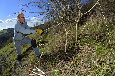 Volunteer improving habitat for bees and other pollinators by clearing scrub from grassland hillside in St. Catherine's Valley near Bath for Buglife / Avon Wildlife Trust's West of England B-Lines pro...