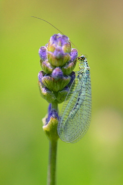 Common green lacewing (Chrysoperla carnea) foraging on Lavender flowerbuds in a garden planted with flowers to attract pollinators, Watch Tower B&B, Dungeness, Kent, UK.