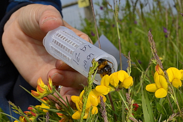 Short-haired bumblebee queen (Bombus subterraneus) collected in Sweden being released onto Birdsfoot trefoil flowers (Lotus corniculatus) during a UK reintroduction project run by the Bumblebee Conser...