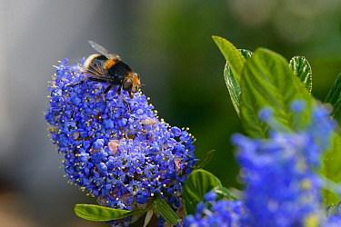 Bumblebee-mimicking Hoverfly (Eristalis intricarius) feeding on Ceanothus flowers in a garden planted with flowers to attract pollinators,  Dungeness, Kent, UK.