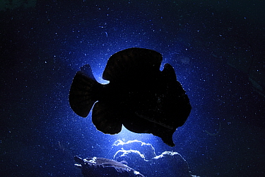 Giant frogfish (Antennarius commersoni) silhouetted against sea surface from below, Ambon, Indonesia.