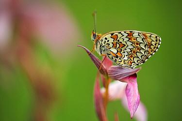 Glanville fritillary butterfly (Melitaea cinxia) Pollino National Park, Italy. May.