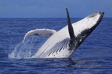 Humpback whale (Megaptera novaengliae) breaching on a sunny day, Vava'u, Tonga, South Pacific