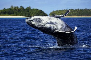 Humpback whale (Megaptera novaengliae) calf breaching in front of an island, Vava'u, Tonga, South Pacific