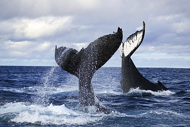 Humpback whales (Megaptera novangliaea) unusual scene with two adults tail-slapping together in rough seas, Vava'u, Tonga, South Pacific