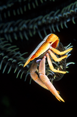 Squat lobster (Allogalathea elegans) in a Sea crinoid, carrying a clutch of eggs, just visible under the crustacean's abdomen.  Alexander's Wall, a dive site in the Eastern Fields of Papua New Guinea.