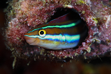 Blue striped fangblenny (Plagiotremus rhinorhynchos) Milne Bay, Samarai Wharf, South Solomon Sea, Papua New Guinea