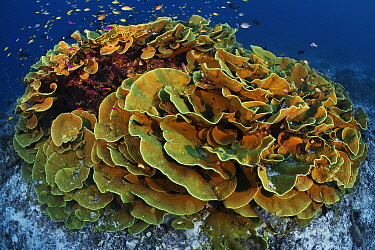 Cabbage coral (Turbinaria reniformis) surrounded by basslets, damsels and other tropical reef fish, Normanby Island in Milne Bay, Papua New Guinea