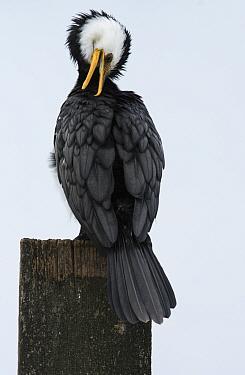 Little pied cormorant (Phalacrocorax melanoleucos) sitting on marine post and preening.  Werribee Sewerage Farm, Werribee, Victoria, Australia