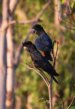 Two Red-tailed black cockatoos (Calyptorhynchus banksii) pair resting in a tree. Leaning Tree Lagoon, Northern Territory, Australia.