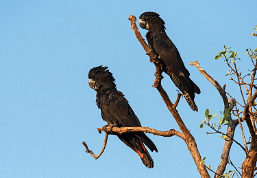 Red-tailed black cockatoo (Calyptorhynchus banksii) pair resting in the upper branches of a eucalyptus tree. Leaning Tree Lagoon, Northern Territory, Australia.