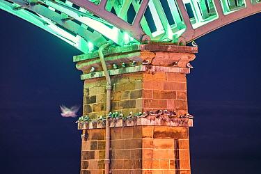 Kittiwakes (Rissa tridactyla) nesting under the Spa Bridge, Scarborough, UK. July