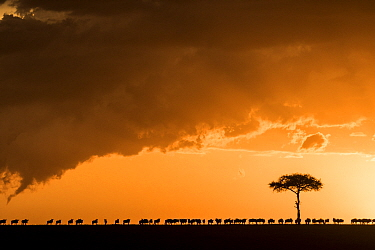 Blue wildebeest (Connochaetes taurinus), migrating herd silhouetted on the horizon at sunset, Masai Mara Game Reserve,  Kenya