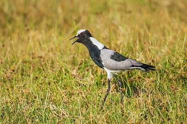 Blacksmith plover (Vanellus armatus) adult calling in  grassland. Showing spurs on carpal wing joints. Ndutu, Tanzania