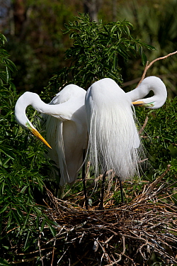 Great Egrets (Ardea alba) preening their breeding plumage, at nest. Osceola County, Florida, USA, March.