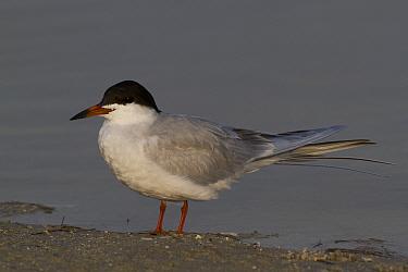 Forster's Tern (Sterna forsteri) in breeding plumage. Petersburg, Florida, USA, April.