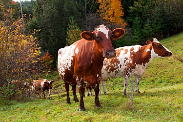 Ayrshire cows (Bos taurus) standing in high pasture. S. Royalton, Vermont, USA, October.
