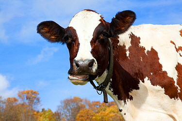 Portrait of Ayrshire cow.  Vermont, USA, October.