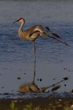 Florida Sandhill Crane (Grus canadensis pratensis), stretching a wing and a leg in shallow water. Sarasota County, Florida, USA, April.