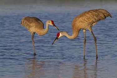 Florida Sandhill Cranes (Grus canadensis pratensis) foraging in lake shallows. Sarasota County, Florida, USA, April.