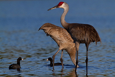 Non-migratory Florida Sandhill Crane (Grus canadensis pratensis) foraging in shallows of Myakka Lake (accompanied by American Coot, Felicia americana); the coots are foraging in the water disturbed by...