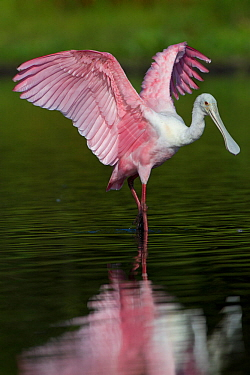 Sub-adult Roseate Spoonbill (Platalea ajaja) stretching its wings in shallow water. Sarasota County, Florida, USA, April.