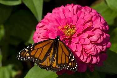Monarch Butterfly (Danaus plexippus) on Zinnia flower. Geneva, Illinois, USA, September.