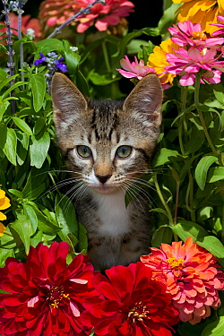 Tabby kitten amongst garden flowers Sarasota, Florida, USA
