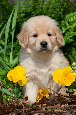 Golden Retriever puppy at 5 weeks, in garden with yellow pansies. Kingston, Illinois