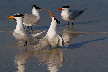 Royal Terns (Thalasseus maximus) in foreground with Caspian Tern (Sterna caspia) pair in background, note much more slender, more orange bills of Royal Terns, in breeding plumage, on shoreline of Tamp...
