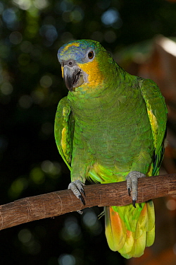 Orange-Winged Amazon Parrot (Amazona amazonica) captive, from east of Andes from Colombia to southeast Brazil