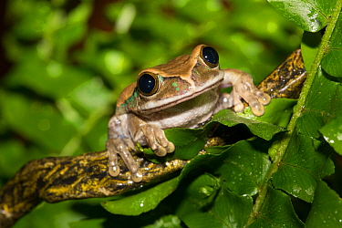 Big-Eyed Treefrog (Leptopelis vermiculatus) captive from forests of Tanzania. Non-exclusive