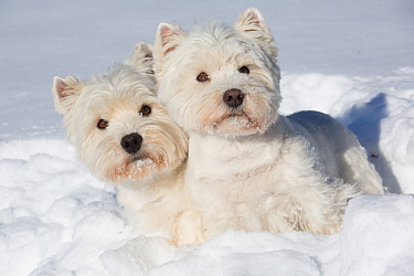 West Highland Terriers in snow, Vernon, Connecticut, USA