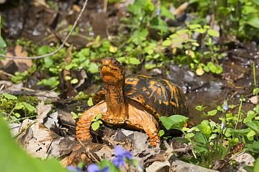 Eastern box turtle (Terrapene carolina carolina) on sphagnum moss and blue violets in woodland. Connecticut, USA