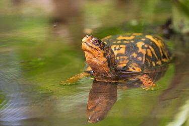 Eastern box turtle (Terrapene carolina carolina) in woodland pool, Connecticut, USA