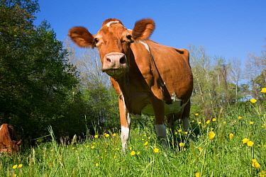 Guernsey cow in spring pasture, Granby, Connecticut, USA
