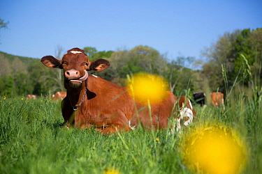 Guernsey cow lying in spring pasture, among Buttercups, Granby, Connecticut, USA