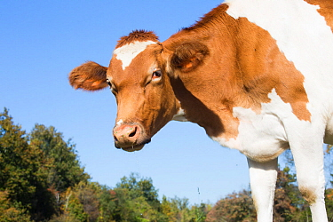 Guernsey dairy cow, Granby, Connecticut, USA.