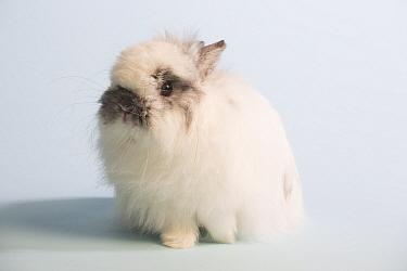 Jersey woolly rabbit, broken chinchilla colour against white background.