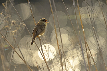Sedge warbler (Acrocephalus schoenobaenus) singing with bokeh effect in background,Norfolk, England, UK, May. Winner of the Birds in Environment Category of the Bird Photographer of the Year 2015.